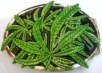 marihuana belt buckles, shop body jewelry